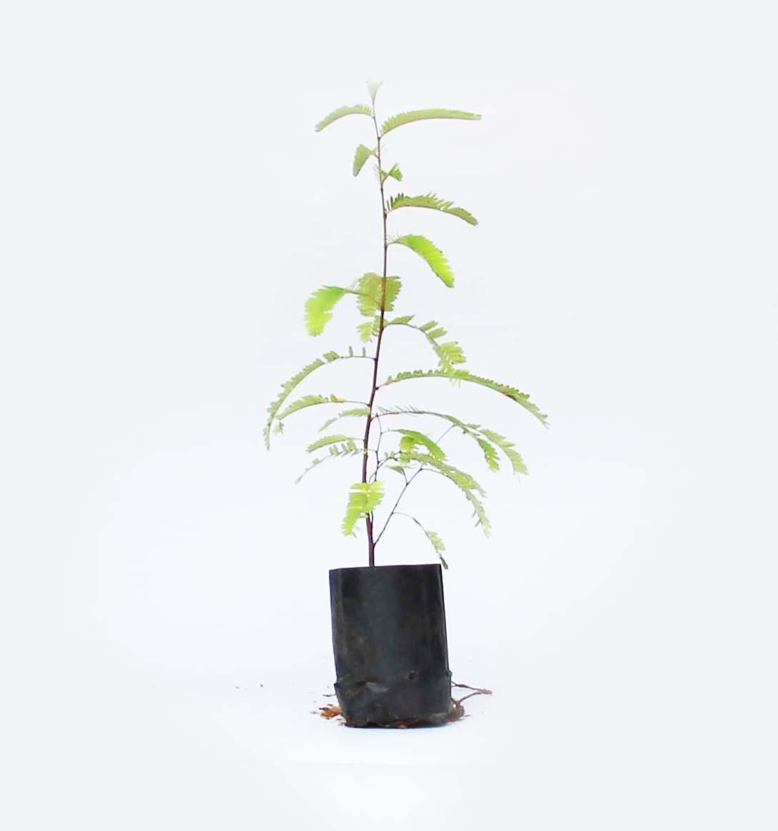 Amla Plant (Vusuri)
