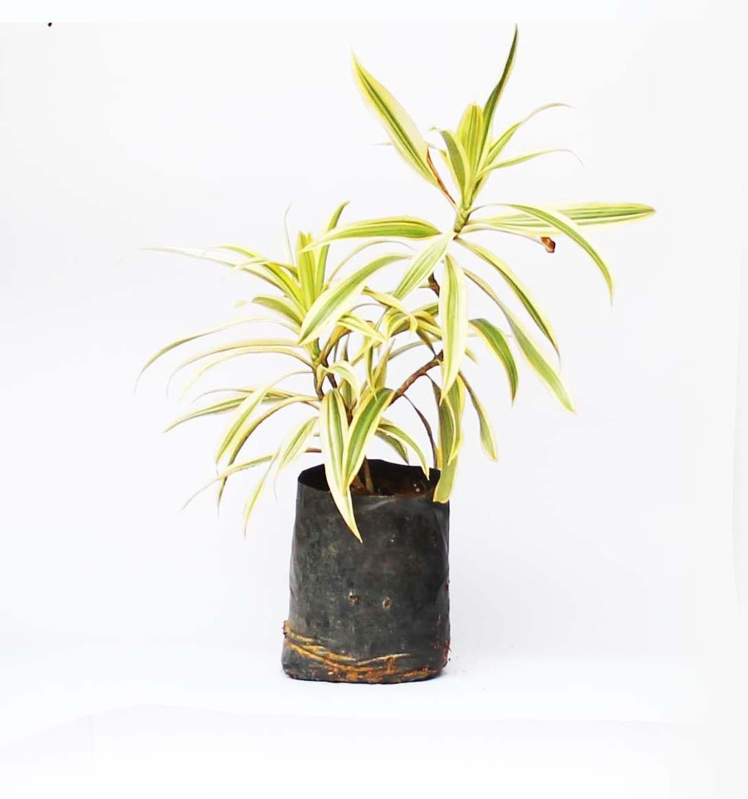 Dieffenbachia (Dumb-cane)